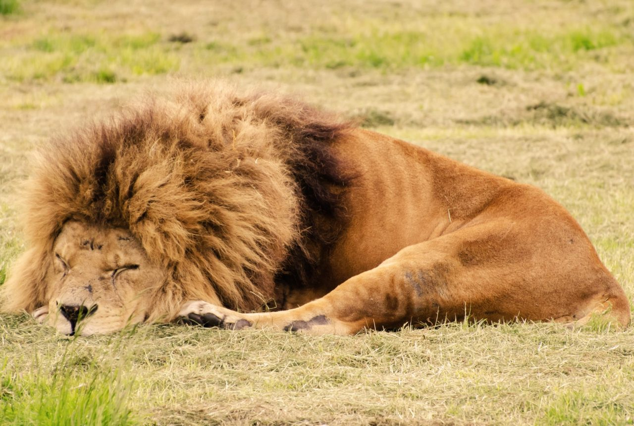 sleeping patterns; lion